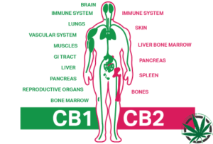 endokanabinoidni-system