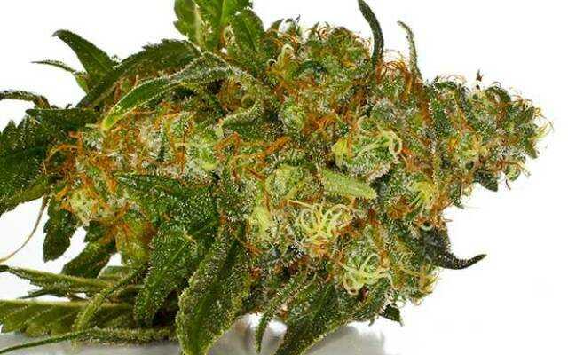 CBD-kvety-1